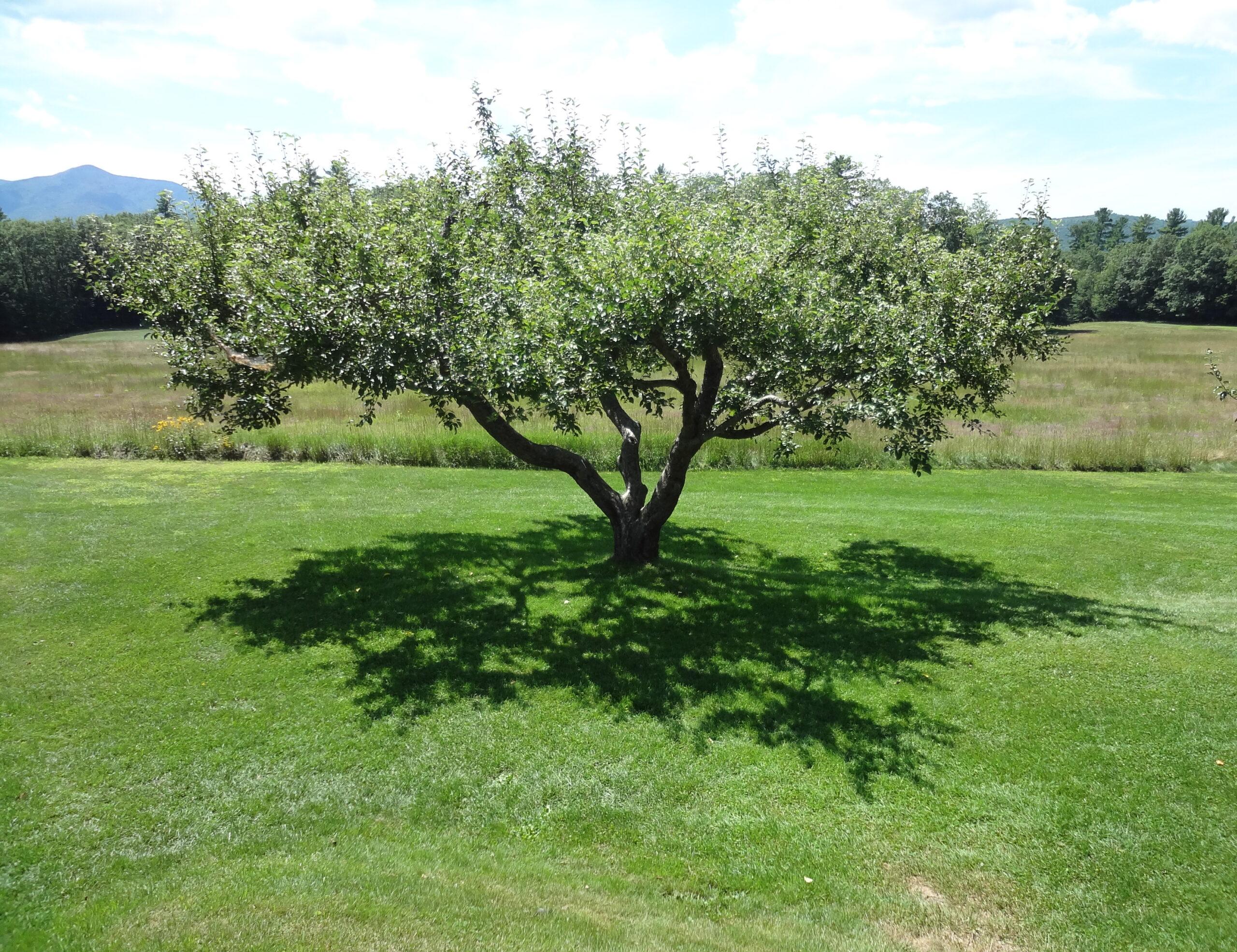 Malus domestica Golden Delicious - Arbre Tree