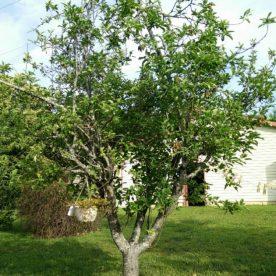 Malus domestica Granny Smith - Arbre Tree