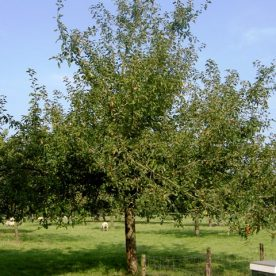 Malus domestica Gravenstein - Arbre Tree