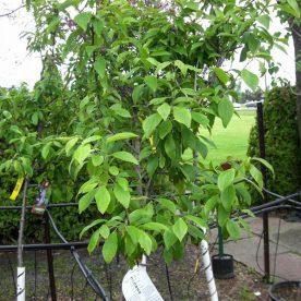 Prunus domestica Italienne - Arbre Tree