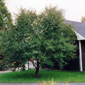 Prunus Montmorency - Arbre Tree