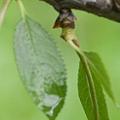 Montmorency Cherrytree Feuilles Leaves