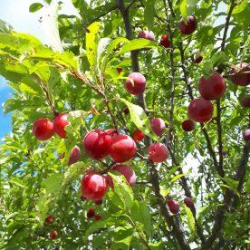 Prunus americana Toka - Arbre Tree