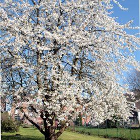 Prunus avium Stella - Arbre Tree