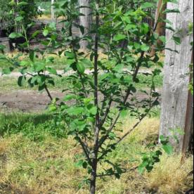 Prunus domestica Damas - Arbre Tree