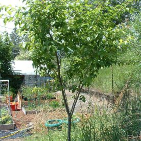 Prunus domestica Stanley - Arbre Tree