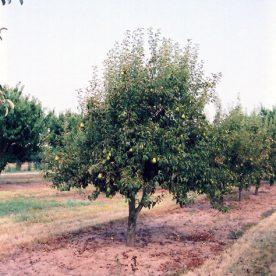 Pyrus Bartlett - Arbre Tree