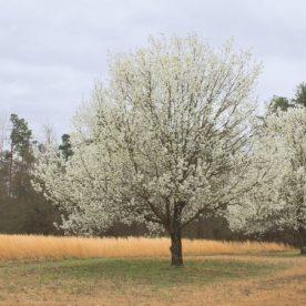 Pyrus Beauté Flamande Arbre Tree